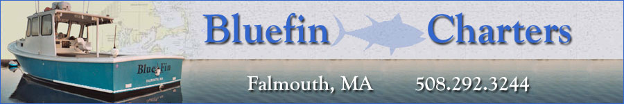 Sportfishing Cape Cod, Martha's Vineyard, and Nantucket for striped bass, bluefish, sea bass, scup, fluke, and sharks with Bluefin Charters, out of Falmouth, Massachusetts.